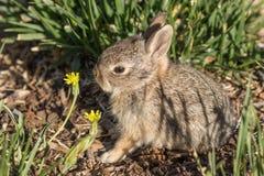 逗人喜爱的婴孩棉尾巴兔子 库存照片