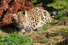 逗人喜爱的婴孩阿穆尔河豹子蹲下布什的Cub 免版税图库摄影