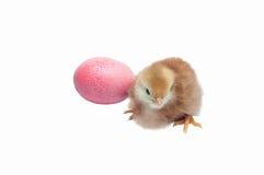 逗人喜爱的婴孩鸡-复活节背景 库存照片
