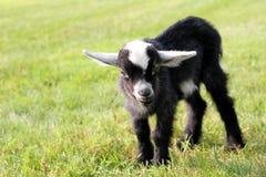 逗人喜爱的黑小山羊外面在农场 免版税图库摄影