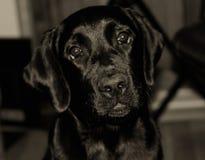 逗人喜爱的黑拉布拉多小狗 库存照片