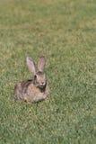 逗人喜爱的年轻棉尾兔 库存照片