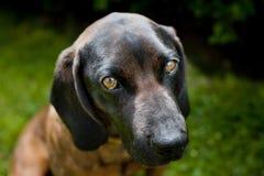 逗人喜爱的巴法力亚山猎犬 免版税库存照片