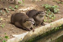 逗人喜爱的水獭在动物园里 图库摄影