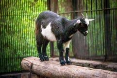 逗人喜爱的黑白小山羊 免版税库存图片