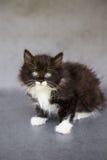 逗人喜爱的黑白小猫 库存图片