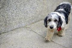 逗人喜爱的黑白被采取的狗 免版税库存照片