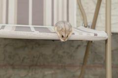 逗人喜爱的滑稽的俄国矮人仓鼠 库存照片