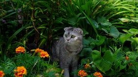 逗人喜爱的滑稽的猫苏格兰平直 库存图片