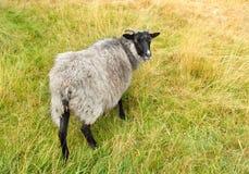 逗人喜爱的绵羊, autum 库存照片