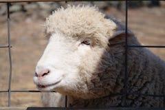 逗人喜爱的绵羊画象 免版税库存图片