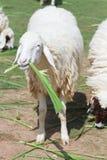 逗人喜爱的绵羊 库存图片