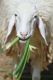 逗人喜爱的绵羊 免版税库存图片