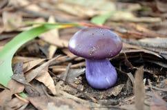 逗人喜爱的紫色伞菌 免版税库存照片