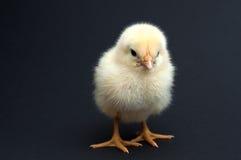 逗人喜爱的黄色小鸡 免版税库存图片