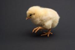 逗人喜爱的黄色小鸡去 免版税库存图片