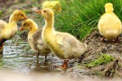 逗人喜爱的黄色幼鹅 库存照片