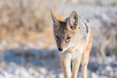 逗人喜爱的黑色的关闭和画象支持走在灌木的狐狼 野生生物徒步旅行队在埃托沙国家公园,主要旅行 免版税库存图片