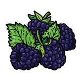 逗人喜爱的黑莓 免版税库存图片