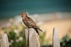逗人喜爱的麻雀画象在海滩的 库存图片