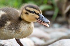 逗人喜爱的年轻鸭子 库存图片