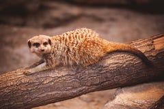 逗人喜爱的年轻meerkat在动物园里 库存图片