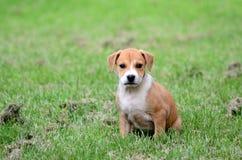 逗人喜爱的amstaff小狗 库存图片
