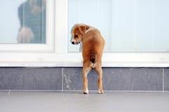 逗人喜爱的amstaff小狗 免版税图库摄影