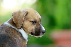 逗人喜爱的amstaff小狗 库存照片