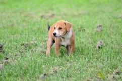 逗人喜爱的amstaff小狗 免版税库存图片
