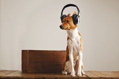 逗人喜爱的basenji狗佩带的耳机 免版税库存照片