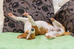 逗人喜爱的basenji狗在沙发的异常的姿势 库存图片