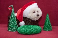 逗人喜爱的bichon frise在圣诞老人帽子在一个柳条筐坐 图库摄影