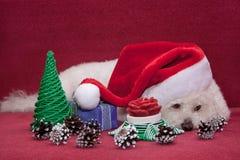 逗人喜爱的bichon frise在圣诞老人帽子 免版税库存图片
