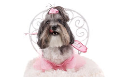 逗人喜爱的Bichon Havanese狗 图库摄影