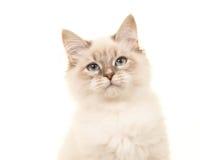 逗人喜爱的birman小猫画象 免版税图库摄影