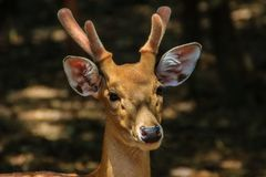 逗人喜爱的Chital或被察觉的鹿母鹿轴轴 免版税库存照片