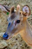 逗人喜爱的Chital或被察觉的鹿母鹿轴轴 免版税库存图片