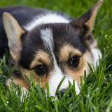逗人喜爱的corgie小狗 库存图片