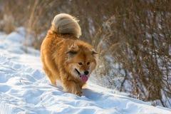 逗人喜爱的Elo狗在冬天风景走 免版税图库摄影
