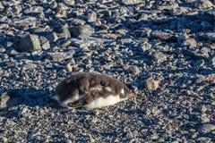 逗人喜爱的gentoo企鹅小鸡睡觉在岩石的,南舍德兰群岛 图库摄影