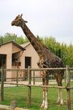 逗人喜爱的girafee 免版税库存图片