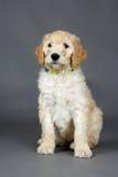 逗人喜爱的goldendoodle小狗 免版税图库摄影