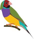 逗人喜爱的Gouldian雀科传染媒介 库存图片