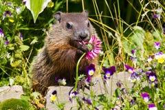 逗人喜爱的groundhog 免版税图库摄影