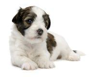 逗人喜爱的havanese一点小狗黑貂 库存照片