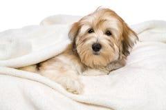 逗人喜爱的Havanese小狗在一条白色床罩说谎 免版税库存照片