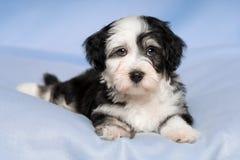 逗人喜爱的Havanese小狗在一条蓝色毯子说谎 免版税库存照片