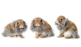 逗人喜爱的lionhead小兔,隔绝在白色背景 免版税库存图片