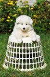 逗人喜爱的malamut小狗 免版税库存照片